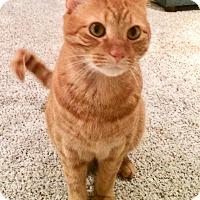Domestic Shorthair Cat for adoption in Colmar, Pennsylvania - Pete