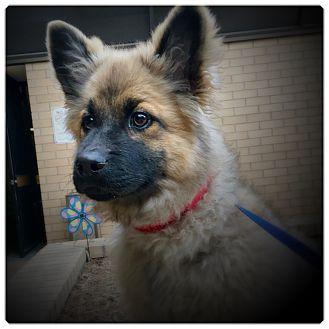 German Shepherd Dog/Chow Chow Mix Puppy for adoption in Glendale, California - BROWNIE