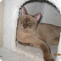 Burmese Cat for adoption in Glendale, Arizona - Copper Lady