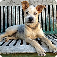 Terrier (Unknown Type, Medium) Mix Dog for adoption in Tucson, Arizona - Stuart