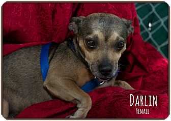 Chihuahua Mix Dog for adoption in Fallbrook, California - Darlin