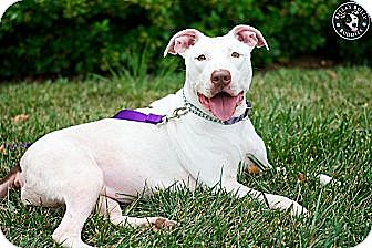 Bull Terrier/American Staffordshire Terrier Mix Dog for adoption in Perry Hall, Maryland - Cocoa
