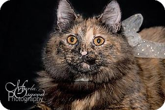 Maine Coon Cat for adoption in Chino Hills, California - Lila