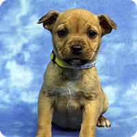 Adopt A Pet :: HERA - Westminster, CO