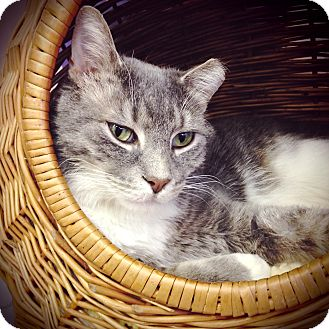Domestic Shorthair Cat for adoption in Chicago, Illinois - Ponderosa