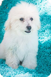 Poodle (Toy or Tea Cup) Mix Puppy for adoption in Loomis, California - Lucy