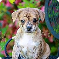 Adopt A Pet :: Beau - Albany, NY