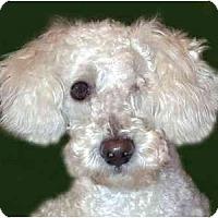 Adopt A Pet :: Chrys - New York, NY
