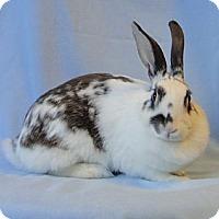 Adopt A Pet :: Queen Elizabeth I - Los Angeles, CA