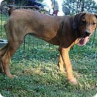 Adopt A Pet :: Betina - Brattleboro, VT