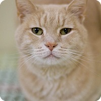 Domestic Shorthair Cat for adoption in Grayslake, Illinois - Ticket