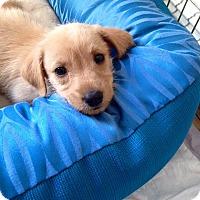 Adopt A Pet :: Dorothy's Pup Glenda - Las Vegas, NV