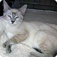 Adopt A Pet :: Snickers - Gilbert, AZ