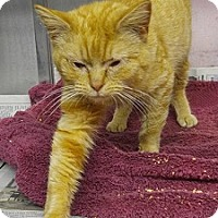 Domestic Shorthair Cat for adoption in Concord, North Carolina - Ginger