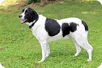 Springer Spaniel/Labrador Retriever Mix Dog for adoption in Portland, Maine - GRIFFIN
