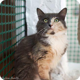 Domestic Mediumhair Cat for adoption in Los Angeles, California - Dominika
