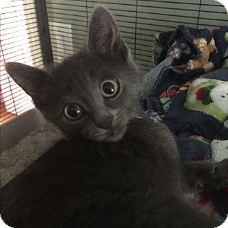 Domestic Shorthair Kitten for adoption in Maybrook, New York - Ralphie