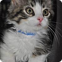 Maine Coon Kitten for adoption in La Canada Flintridge, California - Everest