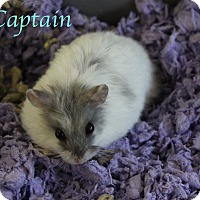 Adopt A Pet :: Captain - Bradenton, FL