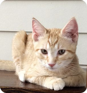 Domestic Shorthair Kitten for adoption in Beaufort, South Carolina - Timothy