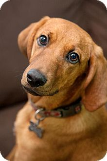 Redbone Coonhound/Labrador Retriever Mix Dog for adoption in Stafford, Virginia - Andy