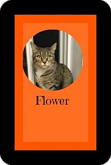 Domestic Shorthair Cat for adoption in Manchester, New Hampshire - Flower-I'm at Petsmart!