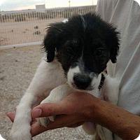 Adopt A Pet :: Sabrina, Romeo and shadow - Tumwater, WA