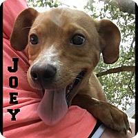 Italian Greyhound/Labrador Retriever Mix Puppy for adoption in Boerne, Texas - Joey