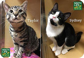 Domestic Shorthair Kitten for adoption in Oakville, Ontario - Taylor & Sydney