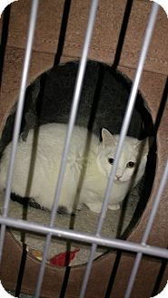 Domestic Shorthair Cat for adoption in Bolingbrook, Illinois - ARIES