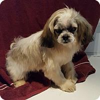 Shih Tzu Puppy for adoption in Overland Park, Kansas - Blitzen