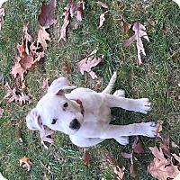 Adopt A Pet :: Caveira - MCLEAN, VA