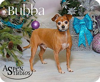 Miniature Pinscher/Chihuahua Mix Dog for adoption in Valparaiso, Indiana - Bubba