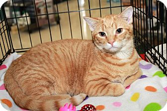 Domestic Shorthair Cat for adoption in Youngsville, North Carolina - Cheeto
