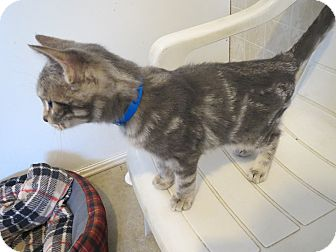 Domestic Shorthair Cat for adoption in Geneseo, Illinois - Drew