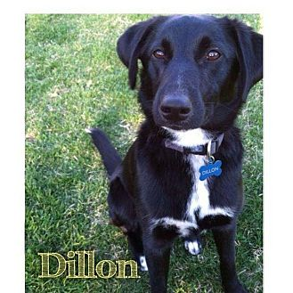 Border Collie/Labrador Retriever Mix Dog for adoption in Garden City, Michigan - Dillon