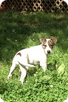 Australian Cattle Dog Mix Puppy for adoption in Richmond, Virginia - Lucky