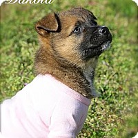 Adopt A Pet :: Dakota - Flowery Branch, GA
