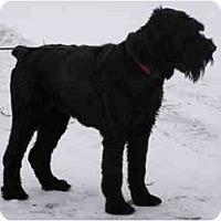 Adopt A Pet :: Misha - Rigaud, QC