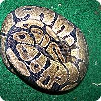 Adopt A Pet :: Ganymede - a ball python - Bristow, VA