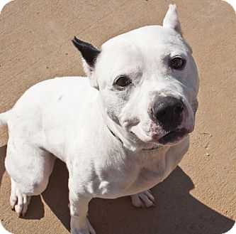 Staffordshire Bull Terrier Mix Dog for adoption in Tanner, Alabama - Phantom