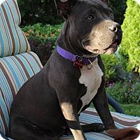 Adopt A Pet :: Scarlet - Pierrefonds, QC