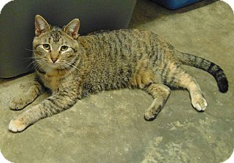 Domestic Shorthair Kitten for adoption in Mountain View, Arkansas - Midge