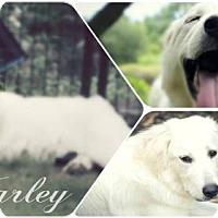 Adopt A Pet :: Marley - Garland, TX