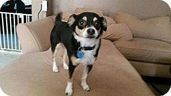 Chihuahua Dog for adoption in Pittsburgh, Pennsylvania - Ace