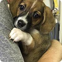 Adopt A Pet :: Hope - Washington, DC