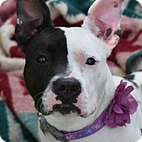 Adopt A Pet :: Frenchie - Pontiac, MI