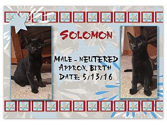Domestic Shorthair Kitten for adoption in Evans, West Virginia - Solomon