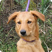 Golden Retriever Mix Dog for adoption in Mukwonago, Wisconsin - **HARLEY** MEET OCT 22ND!