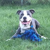 Adopt A Pet :: Valor - Bronx, NY